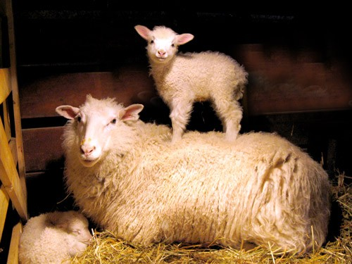 Photo of ewe standing on its mothers back from Harvest Home Farm